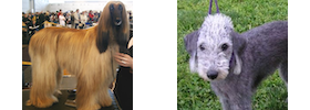 An Afghan Hound and a Bedlington Terrier